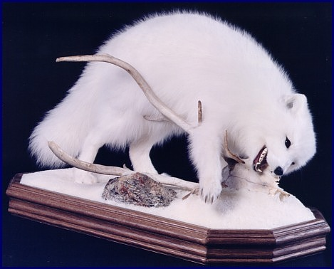 Arctic Fox chewing on caribou skull