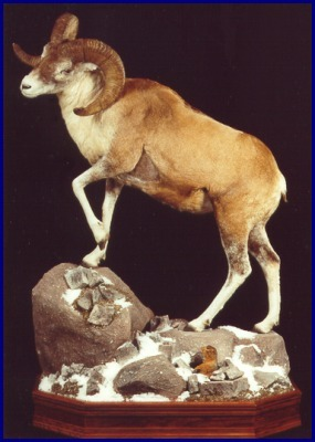 Argali Sheep