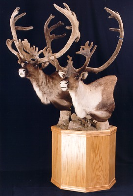 Two bull caribou heads on pedestal