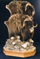 Two Muskox heads on pedestal