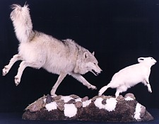 Wolf chasing hare